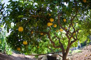 Grapefruitbaum