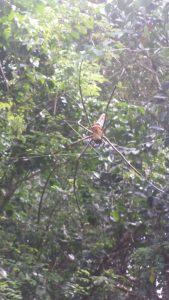 Die riesen Spinne in unserem Garten auf Bali