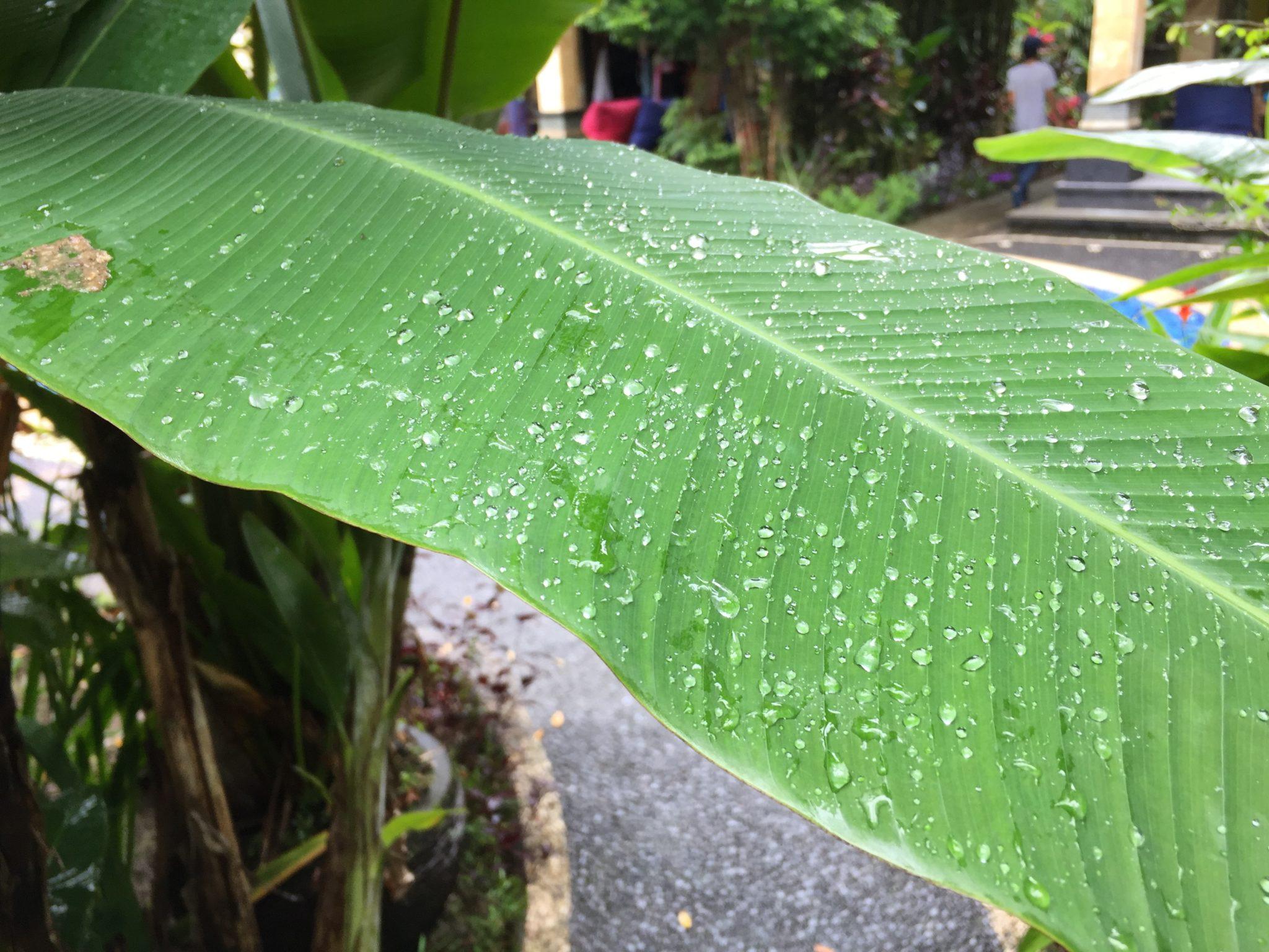 Bananenblatt mit Regentropfen